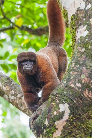 wooly: Wooly Monkey in the Amazonia, Archedona, Ecuador