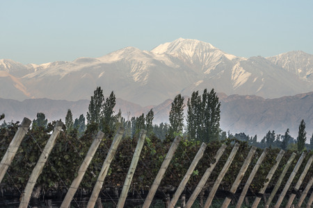 cordillera: Early morning in the vineyards. Volcano Aconcagua Cordillera. Andes mountain range, in Maipu, Argentine province of Mendoza