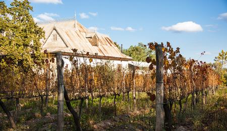 Sunny Autumn Vineyard. Mendoza in late autumn, when grapes harvested. Vibrant colors