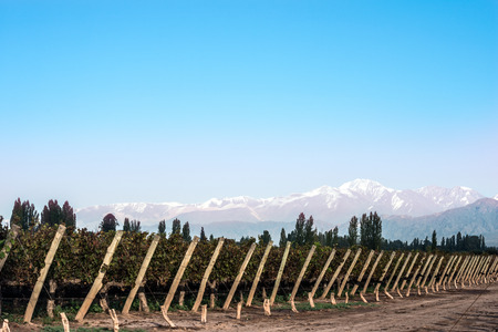 andes mountain: Early morning in the vineyards. Volcano Aconcagua Cordillera. Andes mountain range, in Maipu, Argentine province of Mendoza