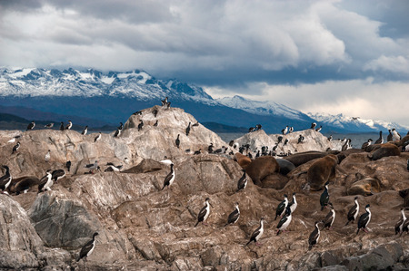 king cormorant: King Cormorant colony sits on an Island in the Beagle Channel. Sea lions are visible laying on the Island as well. Tierra del Fuego, Argentina - Chile