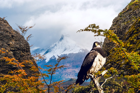 patagonian chile: Patagonian classic: bird, tree, hill. Torres del Paine National Park in the south of Chile