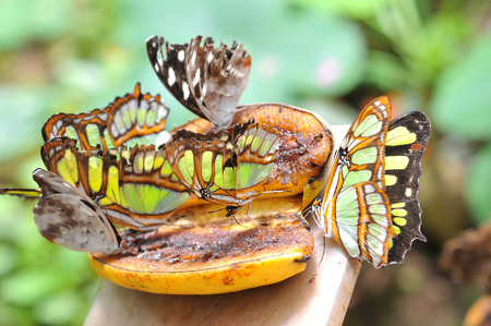 population growth: Butterflies on the banana, Ecuador