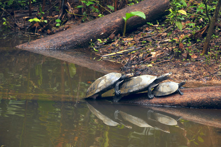 amazonian: Arrau turtle, also known as the Arrau River Turtle or Amazonian River Turtles, on the log
