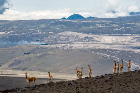 vicuna: Vicuna or vicugna is a wild South American camelid, which live in the high alpine areas of the Andes. It is a relative of the llama. Andes of central Ecuador near Chimborazo