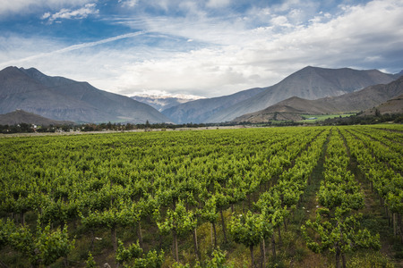 the grapes: Spring Vineyard when Grapevine flower are transforming into a grape berry. Elqui Valley, Andes part of Atacama Desert in the Coquimbo region, Chile