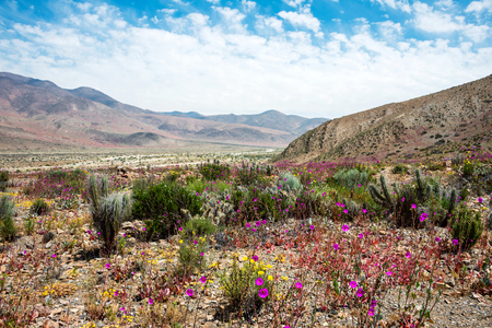 Flowering desert (Spanish: desierto florido) in the Chilean Atacama. The event is related to the El Nino phenomenon Banco de Imagens - 48764835