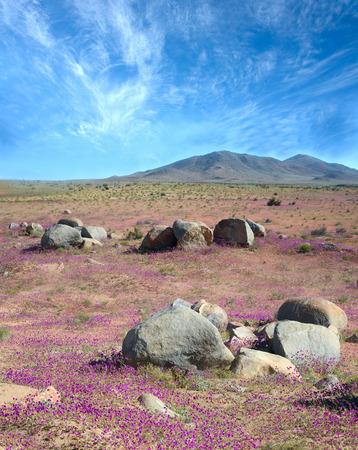 desert sand: Flowering desert  (Spanish: desierto florido) in the Chilean Atacama. The event is related to the El Niño phenomenon Stock Photo