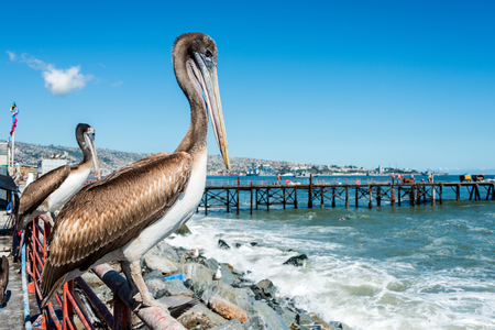 city fish market: Pelican at the fish market of Valparaiso, Chile Stock Photo