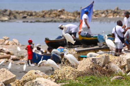 await: Egrets await fishing catch. Cartagena, Colombia Editorial