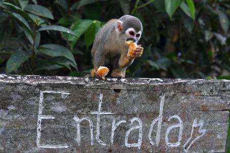 sciureus: Squirrel monkey above the entrance