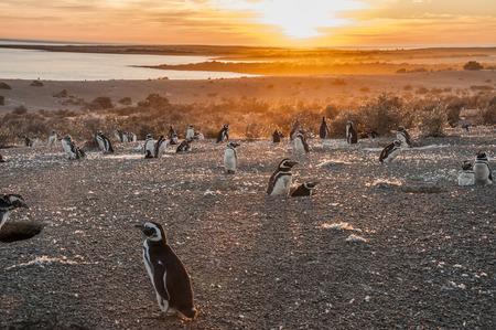 Magellanic Penguins, early morning at Punto Tombo, Patagonia, Argentina