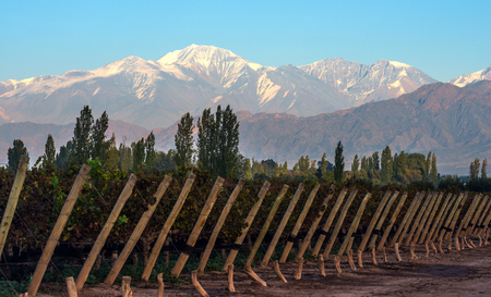 Early morning in the late autumn: Volcano Aconcagua Cordillera and Vineyard. Andes mountain range, in the Argentine province of Mendoza