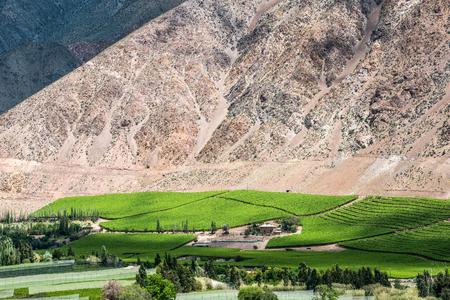 Viñedo de la primavera, cuando la flor de la vid están transformando en una baya de la uva. Valle del Elqui, Andes parte del Desierto de Atacama, en la región de Coquimbo, Chile