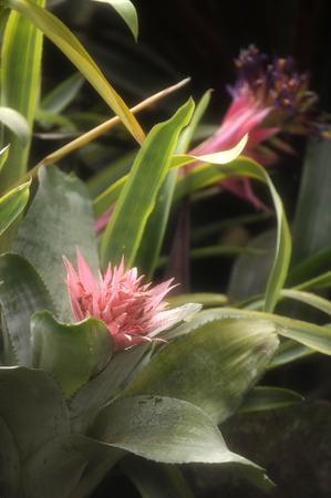 amazonia: Closeup of Plant from jungle Achmea Primera Bromeliad. Amazonia, Ecuador Stock Photo