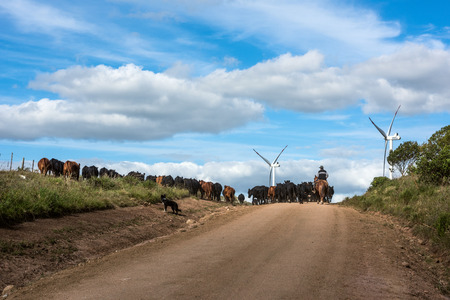 Aigua, Uruguay: Marth 31, 2017 - Gaucho herding cows near windmills on the Cerro Catedral in the Maldonado Department