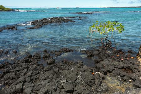 Galapagos Marine Iguanas and Sally Lightfoot Crabs are on the volcanic stone. Santa Cruz, Galapagos Islands, Ecuador