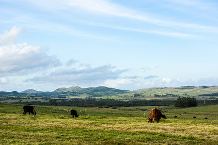 Classic view countryside in Maldonado Department of Uruguay: Cows, meadows and green technologies