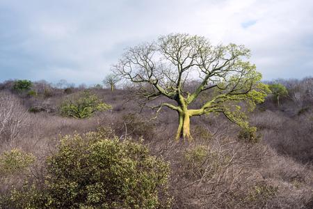 fertile frond: Giant ceiba trees grows up in the coast of Ecuador near Manta Stock Photo