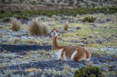 Cheerful adorable Vicugna looking at the camera in Reserva Nacional Pampa Galeras, Peru. Vicugna is a wild South American camelid, which live in the high alpine areas of the Andes. It is a relative of the llama