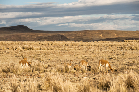 Cheerful adorable Vicugnas in Reserva Nacional Pampa Galeras, Peru. Vicugna is a wild South American camelid, which live in the high alpine areas of the Andes. It is a relative of the llama