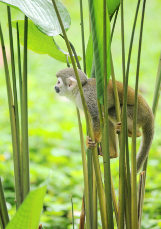 Squirrel monkeys grow to 25 to 35 cm, plus a 35 to 42 cm tail. Male squirrel monkeys weigh 750 to 1100 g. Females weigh 500 to 750 g. Remarkably, the brain mass to body mass ratio for squirrel monkeys is 1:17, which gives them the largest brain, proportio