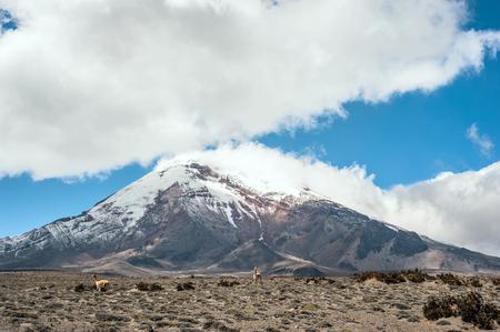 stratovolcano 근처 Vicugnas Chimborazo, 코 델라 옥시 덴탈, 안데스 산맥, 에콰도르 스톡 콘텐츠
