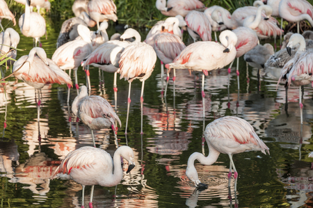 Flamingos have arrived in San Climente, Buenos-Aires state, Argentina Standard-Bild