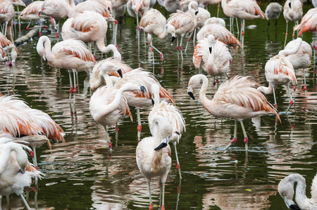 Flamingos have arrived in San Climente, Buenos-Aires state, Argentina Stock Photo