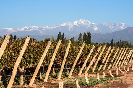 晩秋の早朝: 火山アコンカグア山脈とブドウ畑。アルゼンチン メンドーサ州のアンデス山脈