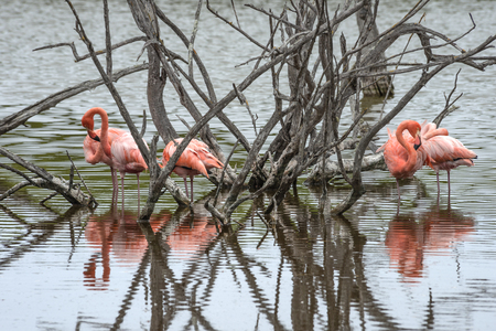 Flamingos have arrived to the island of Isabella, Galapagos Archipelago, Ecuador