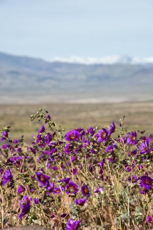 Flowering desert (Spanish: desierto florido) in the Chilean Atacama. The event is related to the El Nino phenomenon Standard-Bild