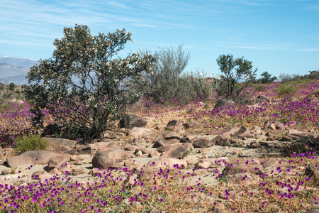 climatic: Flowering desert (Spanish: desierto florido) in the Chilean Atacama. The event is related to the El Nino phenomenon Stock Photo