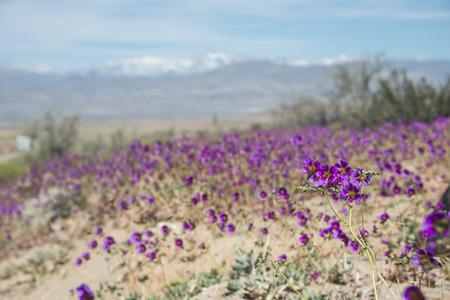 開花砂漠 (スペイン語: デシエルト florido) チリのアタカマで。エルニーニョ現象に関連するイベント