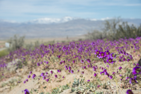 Flowering desert (Spanish: desierto florido) in the Chilean Atacama. The event is related to the El Nino phenomenon Stock Photo