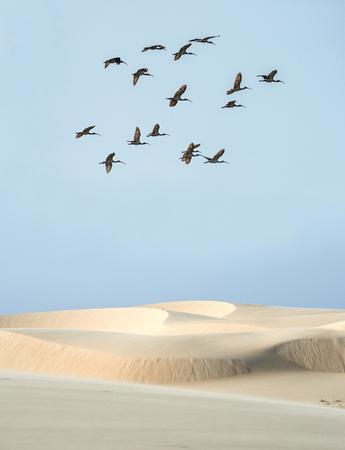Scarlet ibis under the desert banks of the Parnaiba river, northern Brazil