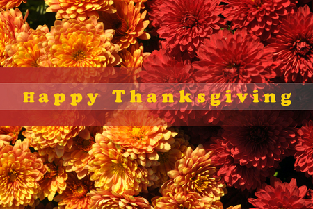 Happy Thanksgiving Greeting, Fall Yellow and Red Chrysanthemums Background and text Happy Thanksgiving