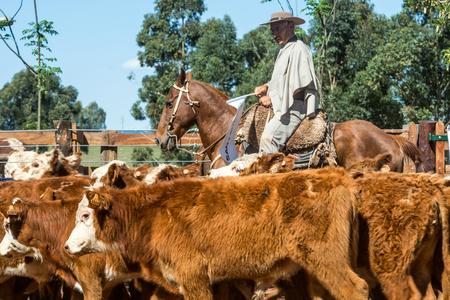 Tacuarembo, Uruguay - 25. Oktober 2012: Gauchos (südamerikanische Cowboys) sammeln die Herde und fahren sie in die Hürde. Gaucho ist ein Bewohner der südamerikanischen Pampa Standard-Bild - 94560867