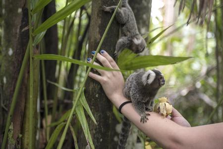 Tourists feed macaques with bananas. Paraty, Rio de Janeiro state, Brazil Standard-Bild
