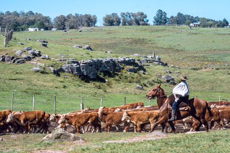 Tacuarembo, Uruguay - October 25, 2012: Gauchos (South American cowboys) collect the herd and drive it into the corral. Gaucho is a resident o the South American pampas