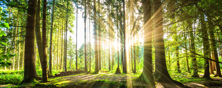 Forest panorama with sunbeams