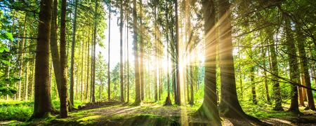 medio ambiente: Panorama del bosque con los rayos solares