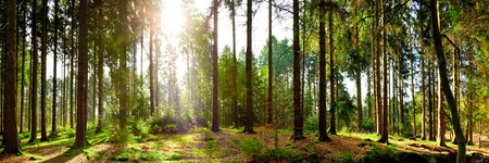 sunlit: Forest panorama