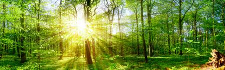 Sunbeams in the forest Standard-Bild