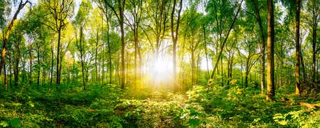 Zons ondergang in het bos  Stockfoto