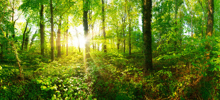 Forest panorama with sun rays 스톡 콘텐츠