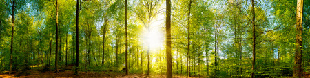 Forest panorama with sun rays Standard-Bild
