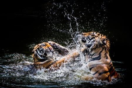 Two Tigers fighting in Water 스톡 콘텐츠