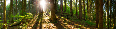 Forest panorama at sunrise