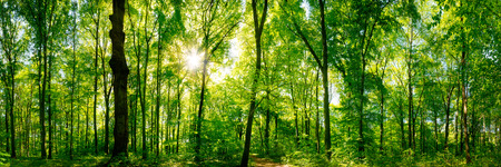Forest panorama with sun